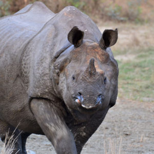 Rhinoceros eating salt in west bengal