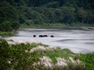 Wild Bisons crossing Murti river.