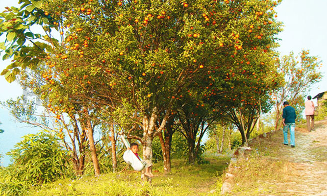 orange cultivation at Sittong