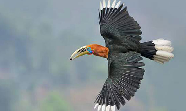 Hornbillnest bird at Latpanchar