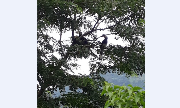 Jhalong-Peren-Bindu-Meeyang-Homestay-Paren-hornbill-birds-available-by-the-road-side-tree