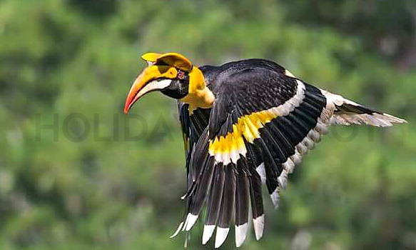 Hornbill bird at Samsing Trishna Homestay